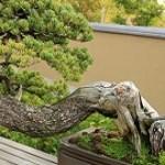 海外に伝える日本文化「盆栽」の新しい形
